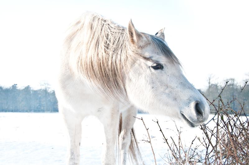 white_horse1.jpg